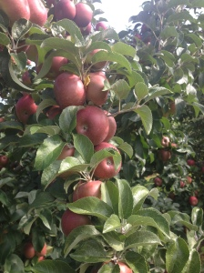 Ripening Apples